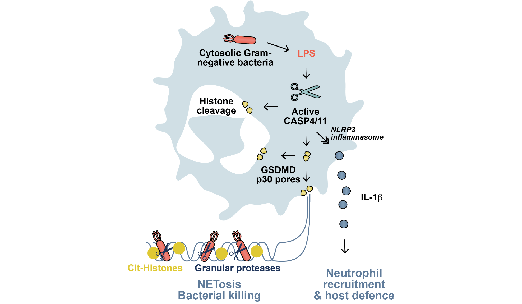 NET, NETosis, non-canonical inflammasome signalling